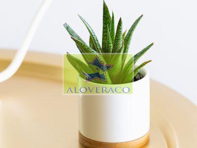 چگونه می توان از گیاه آلوورا مراقبت کرد؟