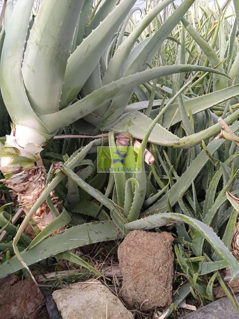 تولید انواع برگ آلوورا خوراکی